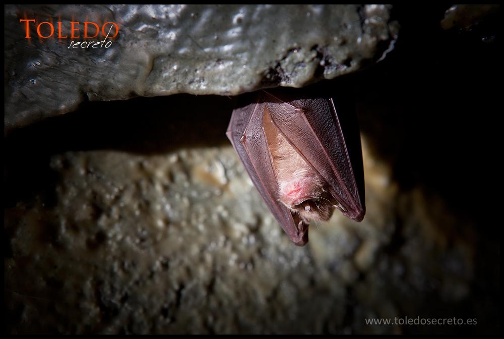 Un murciélago que vivía en la cueva del viejo sismógrafo en Toledo.